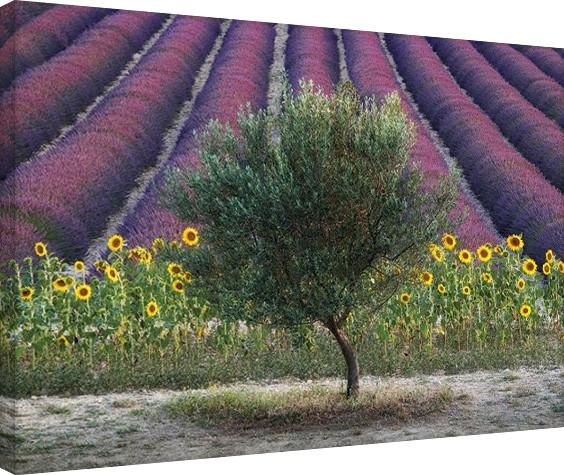 Canvastavla David Clapp - Olive Tree in Provence, France
