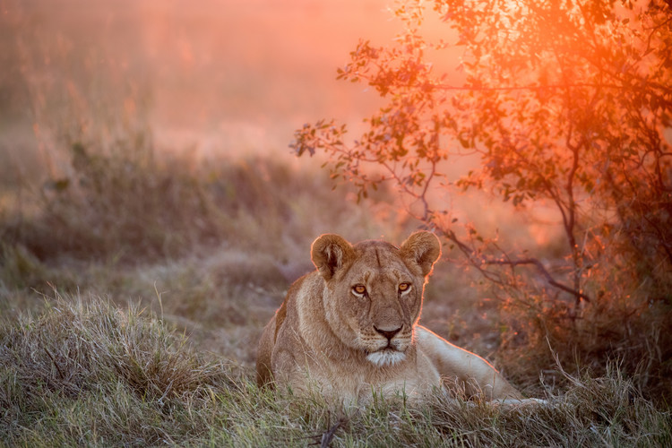 Sunset Lioness Canvas