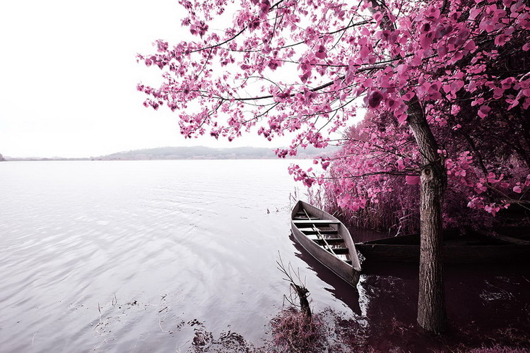 Cuadro en vidrio Pink World - Blossom Tree with Boat 1