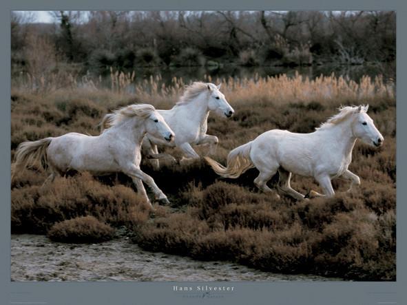 Equus 3 - Camargue - France Festmény reprodukció