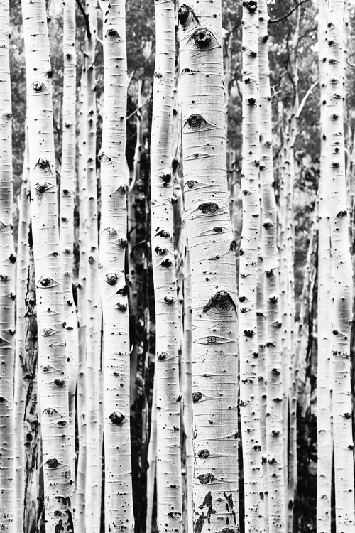 Exklusiva konstfoton Birch trunks