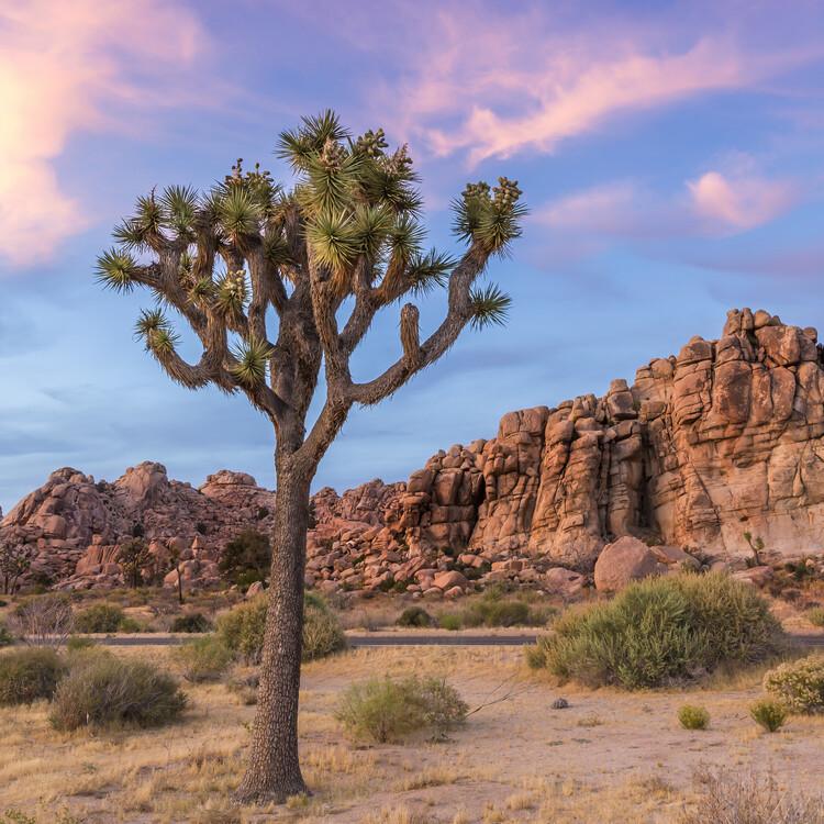 Exklusiva konstfoton Joshua Tree Sunset Mood