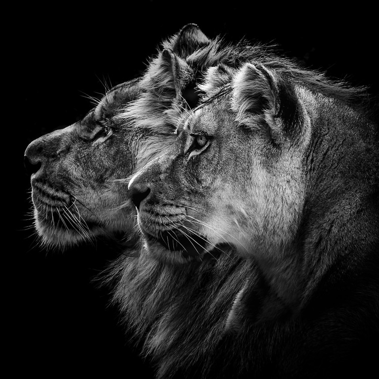 Exklusiva konstfoton Lion and Lioness Portrait