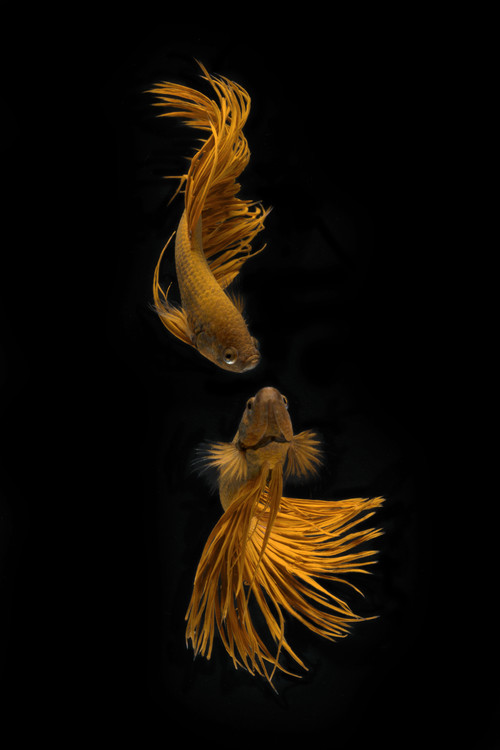Exklusiva konstfoton Love Story of the Golden Fish