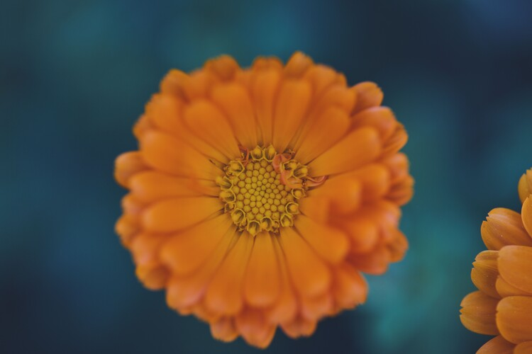 Exklusiva konstfoton Orange flowers at dusk 1