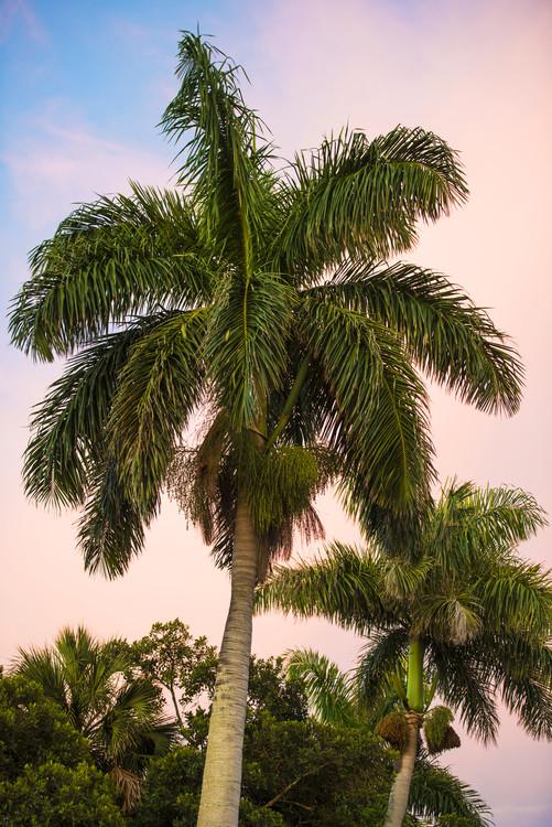 Exklusiva konstfoton Palm Trees at Sunset
