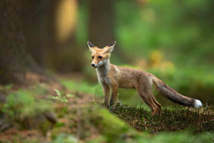 Exklusiva konstfoton Red Fox