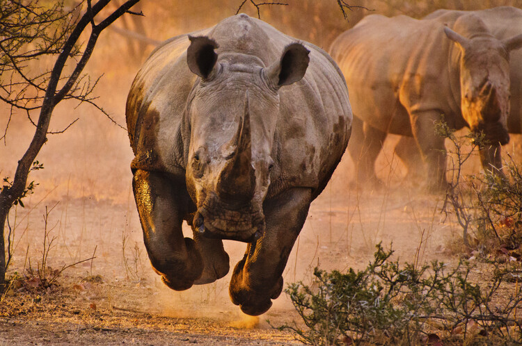 Exklusiva konstfoton Rhino learning to fly
