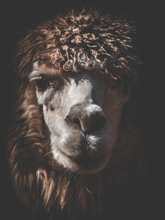 Exklusiva konstfoton alpaca2
