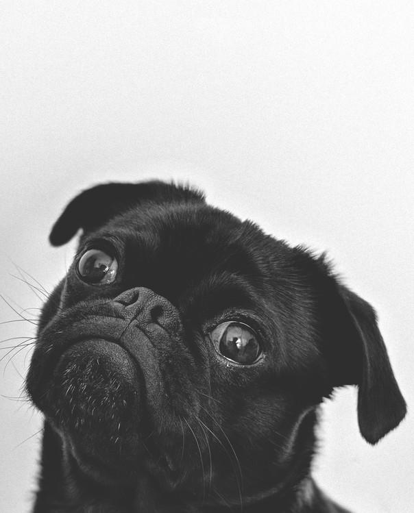 Exklusiva konstfoton doghead