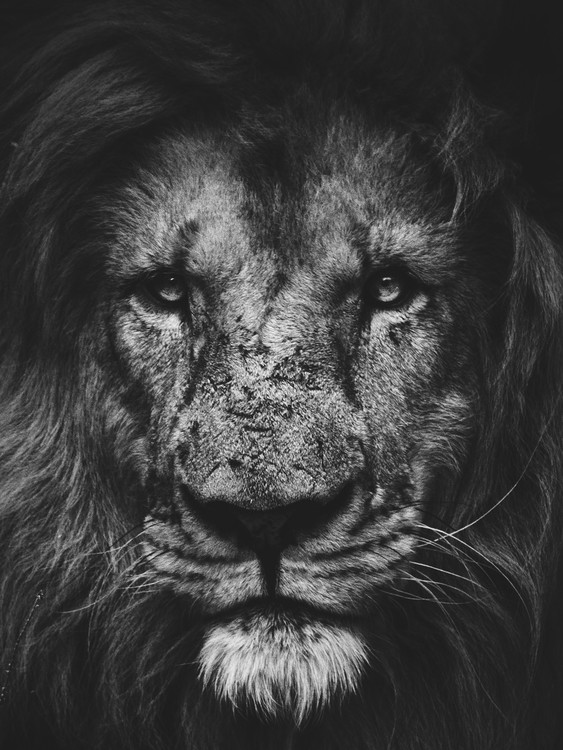 Exklusiva konstfoton lion2