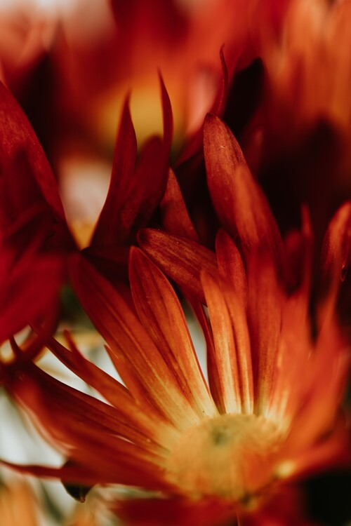 Exklusiva konstfoton Macro red flowers
