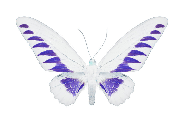 Exklusiva konstfoton MISS BUTTERFLY BROOKIANA - X-RAY White Edition