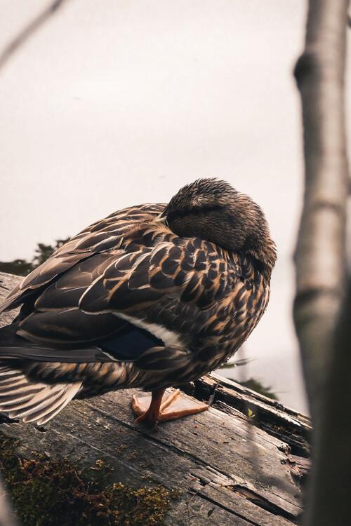 Exklusiva konstfoton Sleeping duck