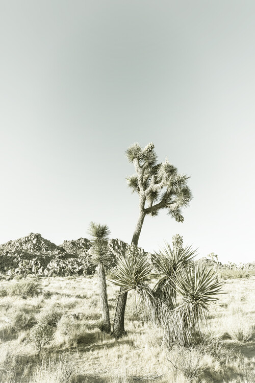 Exklusiva konstfoton Vintage Joshua Trees
