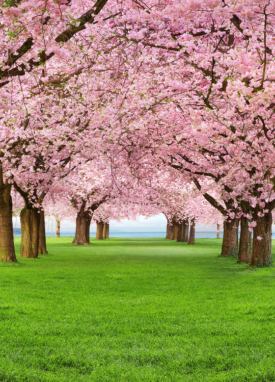 CHERRY TREES Fotobehang