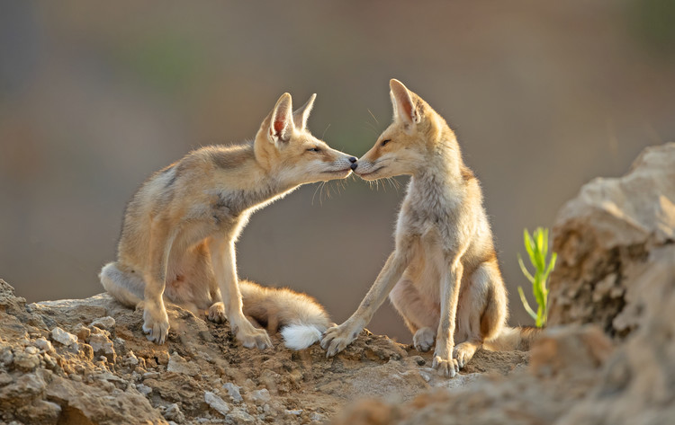 Foxes , Kiss Fotobehang