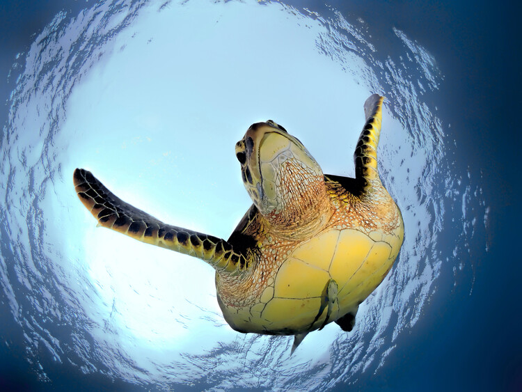 Green Turtle in Snells Window Fotobehang