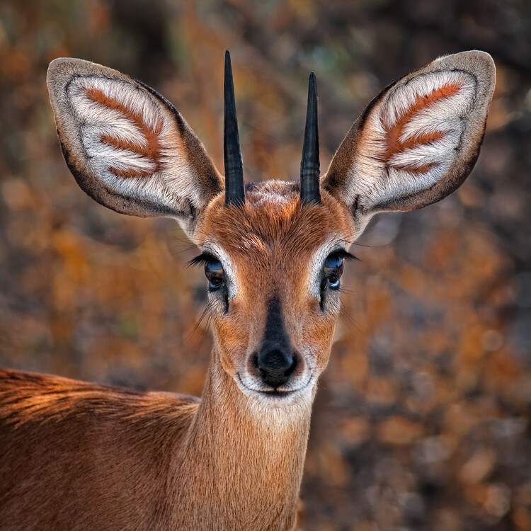 Fotografia artystyczna Steenbok, one of the smallest antelope in the world