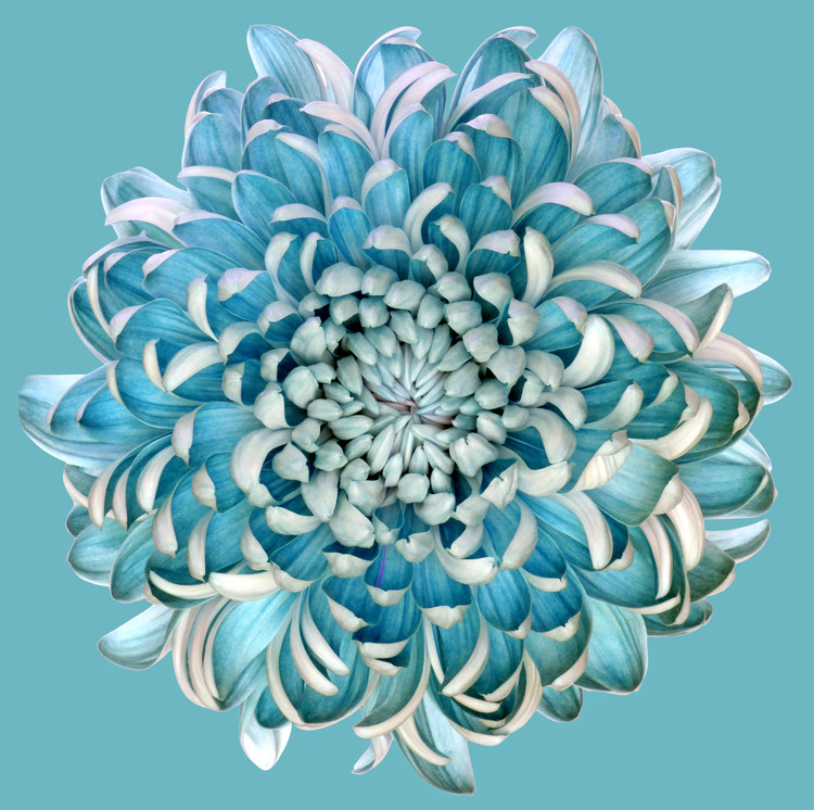 Blue Chrysanth Fototapeta