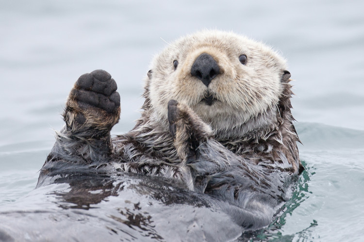 Fotografia d'arte Yesterday I caught a fish thiiis big! - Otter. Alaska