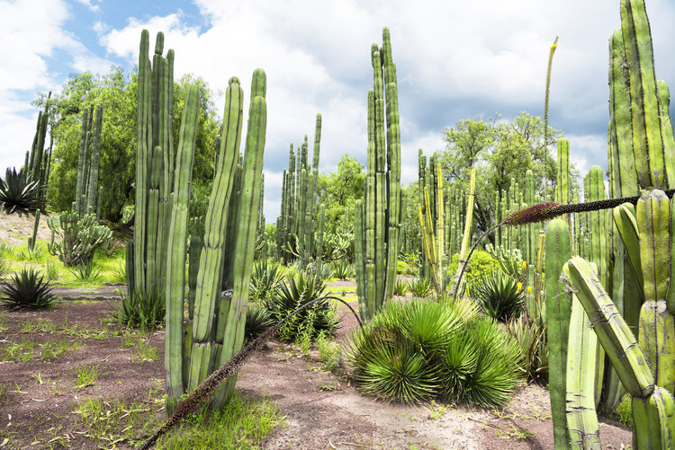 Fotografia d'arte Cardon Cactus