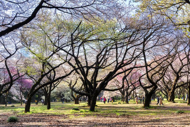 Fotografii artistice Beautiful Sakura Trees