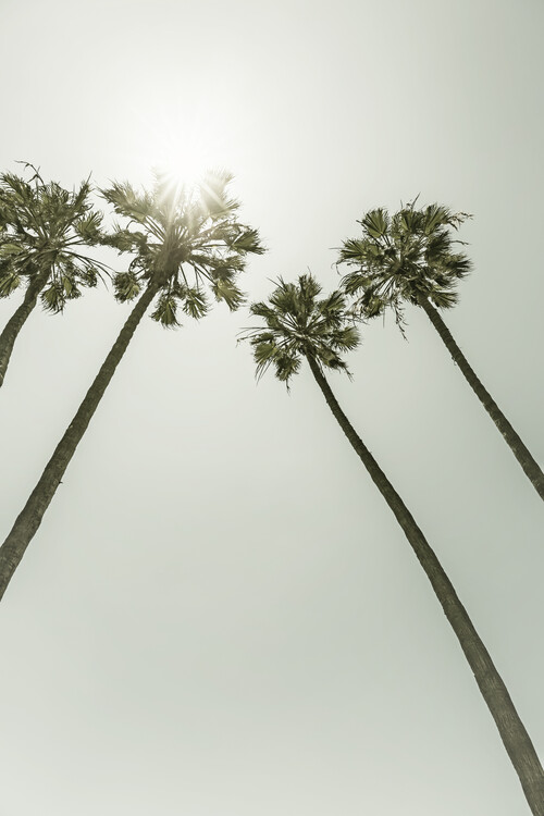 Fotografii artistice Palm Trees in the sun | Vintage