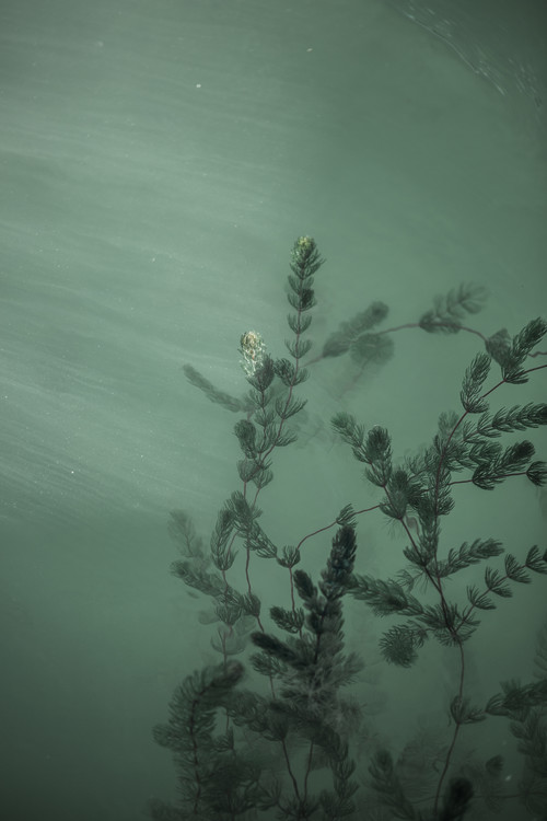 Fotografii artistice Underwater plants