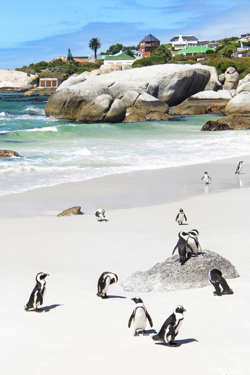 Fotografii artistice African Penguins at Boulders Beach