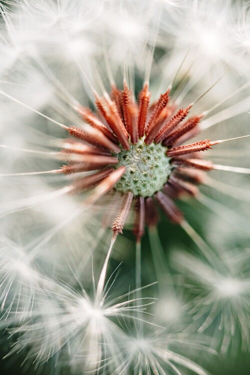 Ekskluzivna fotografska umetnost Dandelion detail
