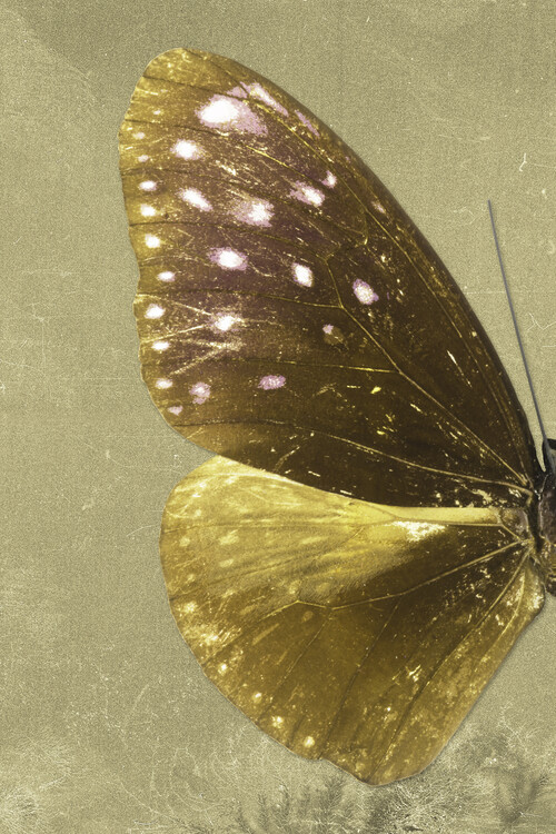 Ekskluzivna fotografska umetnost EUPLOEA PROFIL - GOLD