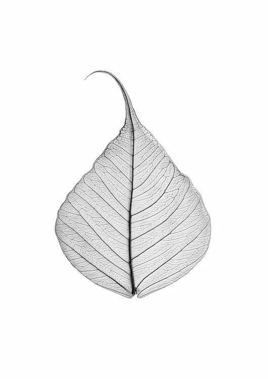 Ekskluzivna fotografska umetnost Skeleton leaf