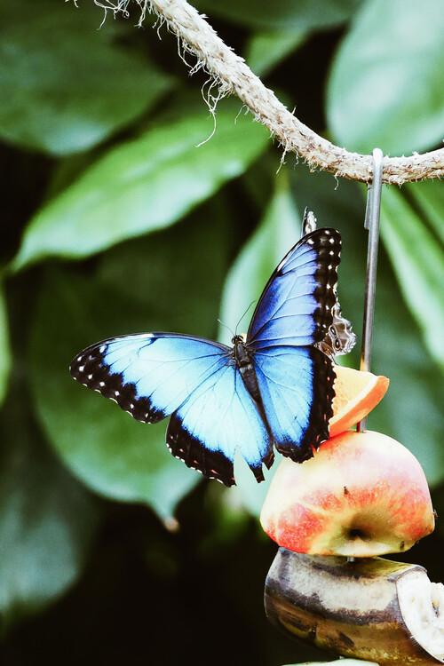 Ekskluzivna fotografska umetnost Blue Butterfly