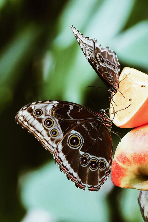 Ekskluzivna fotografska umetnost Butterfly couple