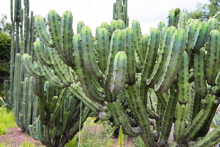 Ekskluzivna fotografska umetnost Cactus Details II