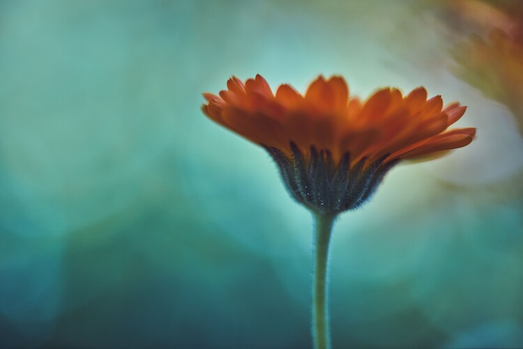Ekskluzivna fotografska umetnost Orange flowers at dusk