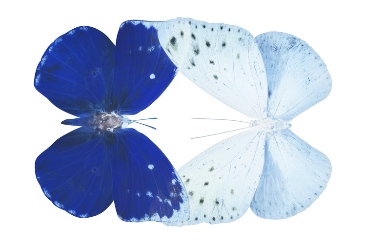 Fotomural MISS BUTTERFLY DUO CATOPLOEA - X-RAY White Edition