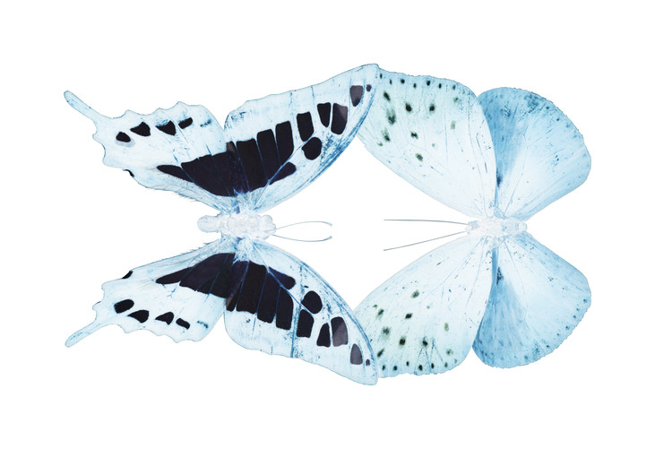 Fotomural MISS BUTTERFLY DUO CLOANTHAEA - X-RAY White Edition