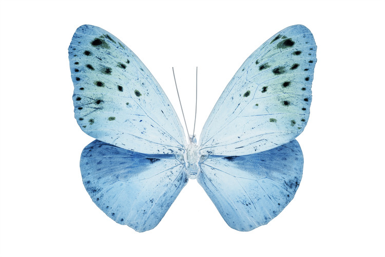Fotomural MISS BUTTERFLY EUPLOEA - X-RAY White Edition