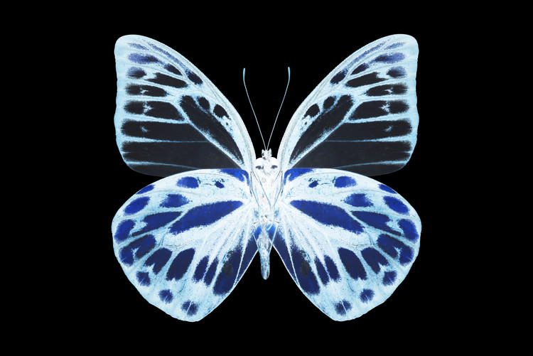 Fotomural MISS BUTTERFLY PRIONERIS - X-RAY Black Edition