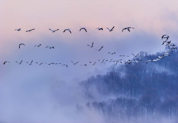 Fotomural  Snow Geese