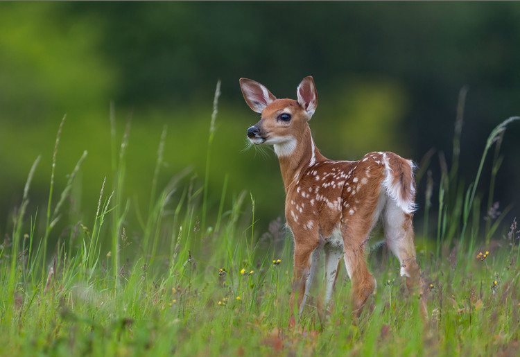 Fotomural Spring Fawn