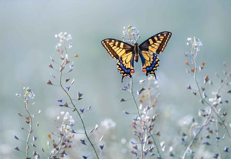 Fotomural Swallowtail Beauty