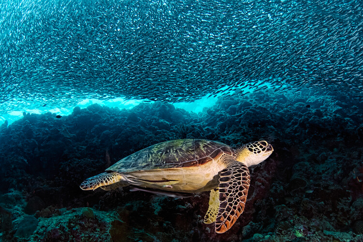 Fotomural Turtle and Sardines