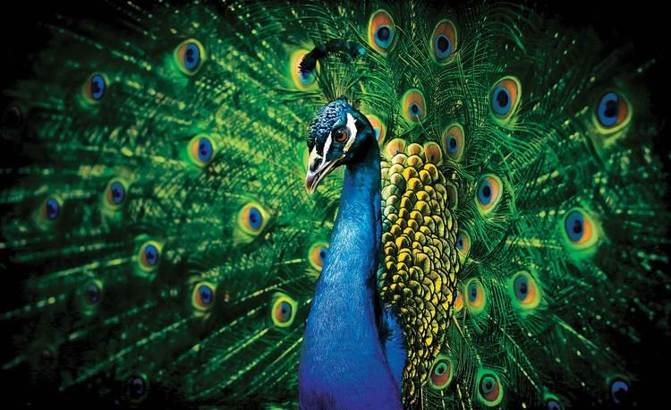 Peacock Bird Feathers Fototapet