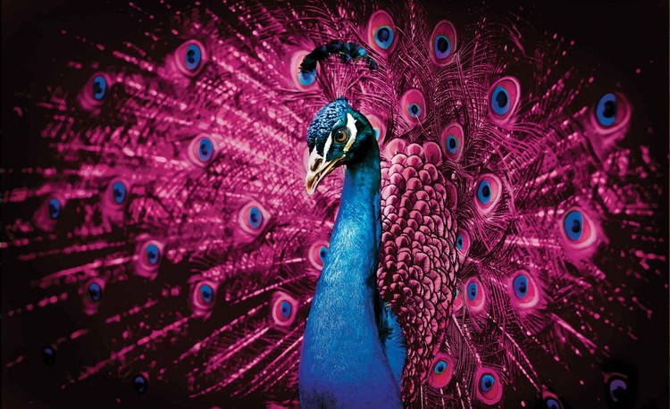 Peacock Bird Pink Feathers Fototapet