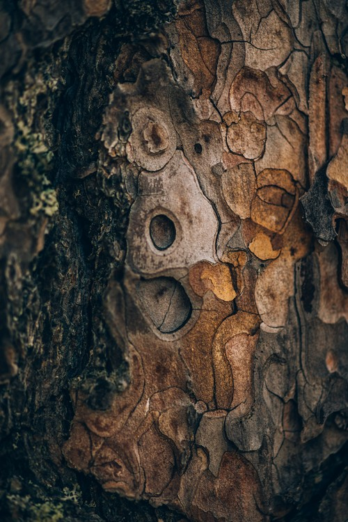 Pine wood Fototapet