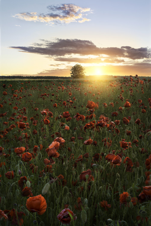 Poppy fields of Sweden Fototapet