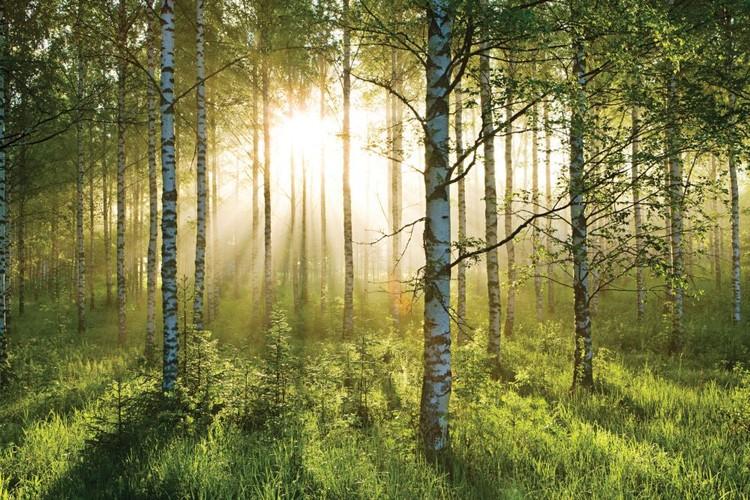 Skog - Sunbeams Fototapet